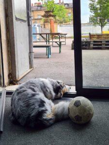 Australian Shepherd Fellow wartet an der Bürotür mit seinem Ball auf einen Spielpartner